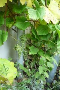 der Beweis: 3 jährige Weintraube unter Balkon, neben Lavendel und Rucola